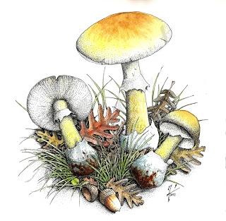 Amanita-phaloides